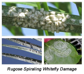 Grants Gardens Landscape Maintenance Protects Against The Rugose Spiraling Whitefly.